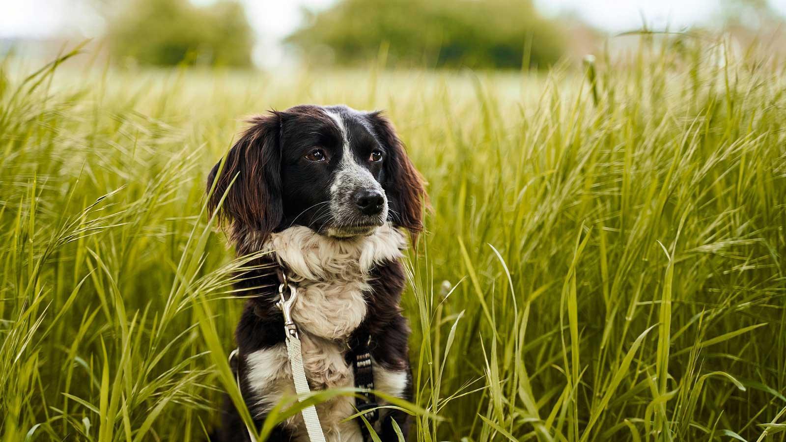 dog-grass